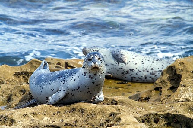 Seehunde in freier Natur